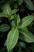 Striped tropical leaves at Lyon Arboretum Honolulu, HI