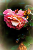 A Rose blossom early in the morning after a light September rain shower.
