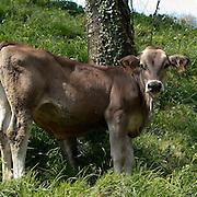 Un vitello al pascolo a Cornello del Tasso in provincia di Bergamo...A calf in grazing at Cornello del Tasso in Bergamo province.
