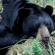 Black Bear, (Ursus americanus) Minnesota, portrait of large male napping in cedar swamp. Early fall.