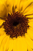 Sunflower, Helianthus annuus, flower, dark centre flowerhead yellow, tall garden plant annual, seed spiral