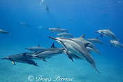 pod of Hawaiian spinner dolphins or Gray's spinner dolphins, Stenella longirostris longirostris, resting, socializing, and playing with leaves, Hookena, South Kona, Hawaii ( the Big Island ), USA ( Central Pacific Ocean ); digitally modified (two swimmers removed from background)