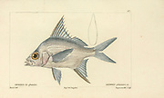 Gerres from Histoire naturelle des poissons (Natural History of Fish) is a 22-volume treatment of ichthyology published in 1828-1849 by the French savant Georges Cuvier (1769-1832) and his student and successor Achille Valenciennes (1794-1865).