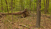 Downed tree in the woods. Image taken with a Leica CL camera and 23 mm f/2 lens