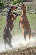 Wild horses spar near a watering hole in northwestern Colorado. Sand Wash Wild Horse Management BLM area.