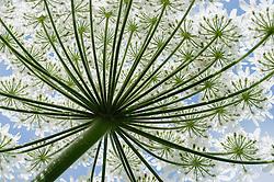 Reuzenbereklauw, Heracleum mantegazzianum