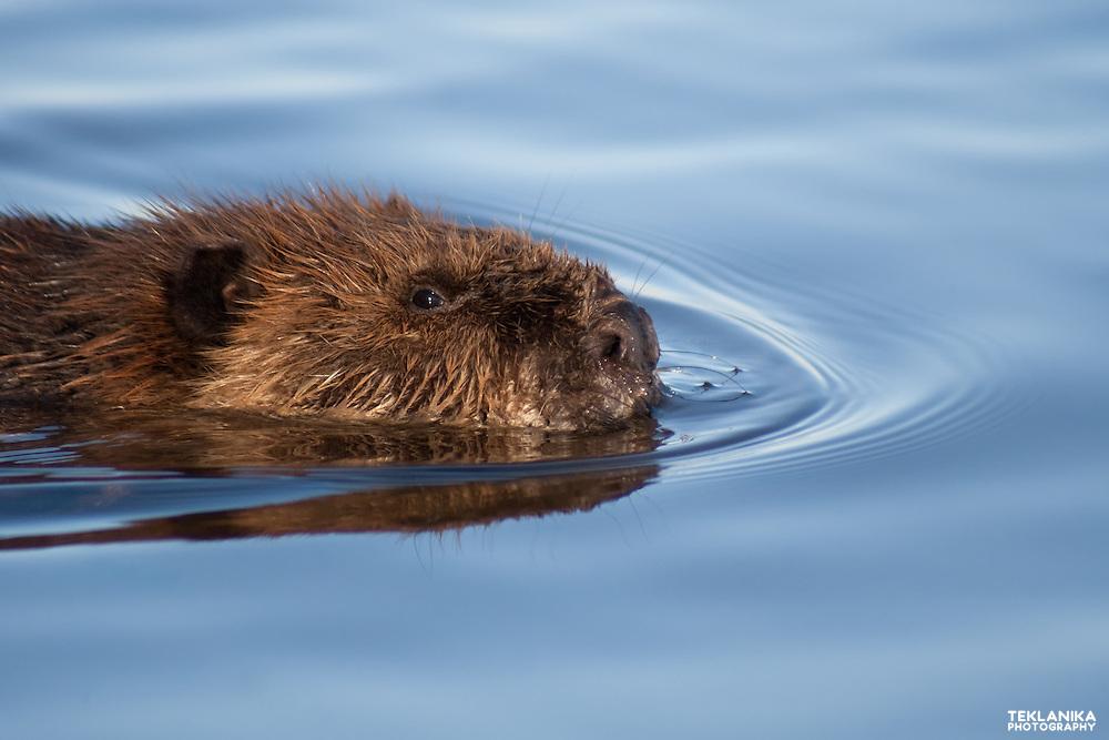 A beaver floats across a calm Colorado lake.