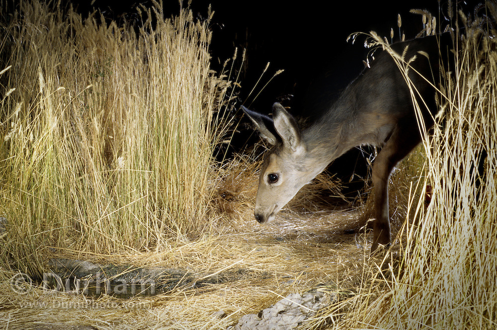 A black-tailed deer fawn (Odocoileus hemionus) makes a nocturnal visit to an artificial guzzler in the desert of southern Oregon.