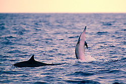 long-snouted spinner dolphins at sunset, Stenella longirostris, Kealakekua Bay, Big Island, Hawaii, USA, Pacific Ocean