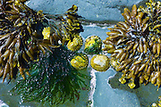 Bladderwrack bladder seaweed and limpets on the rocks in Kilkee, County Clare, West Coast of Ireland