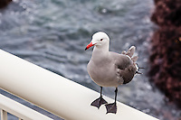 United States, California, Monterey. The waterfront in the city of Monterey. Close to Monterey Bay Aquarium, a Heermann's Gull.