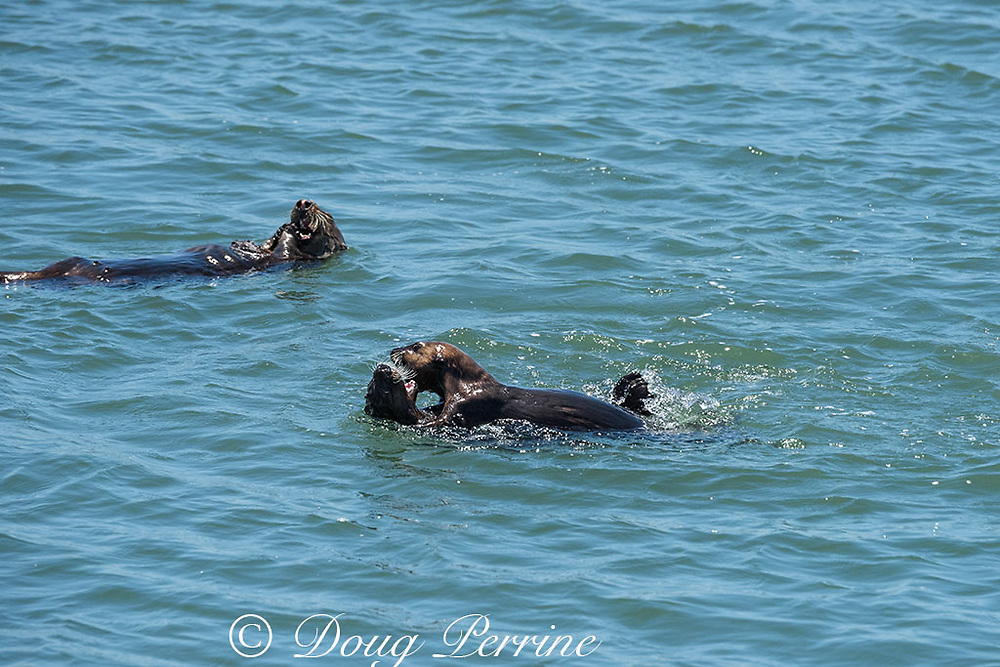 California sea otter or southern sea otter, Enhydra lutris nereis ( threatened species ), large pup (left) and young male (right) play fighting while pup's mother feeds in background , Elkhorn Slough, Moss Landing, California, United States ( Eastern Pacific )