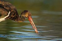Mission: Black Storks River Elbe Germany; Biosphärenreservat Niedersächsische Elbtalaue; adult; Schwarzstorch; Black Stork; Ciconia nigra; juvenil; Biosphere Reserve Middle Elbe. digitally cleaned.