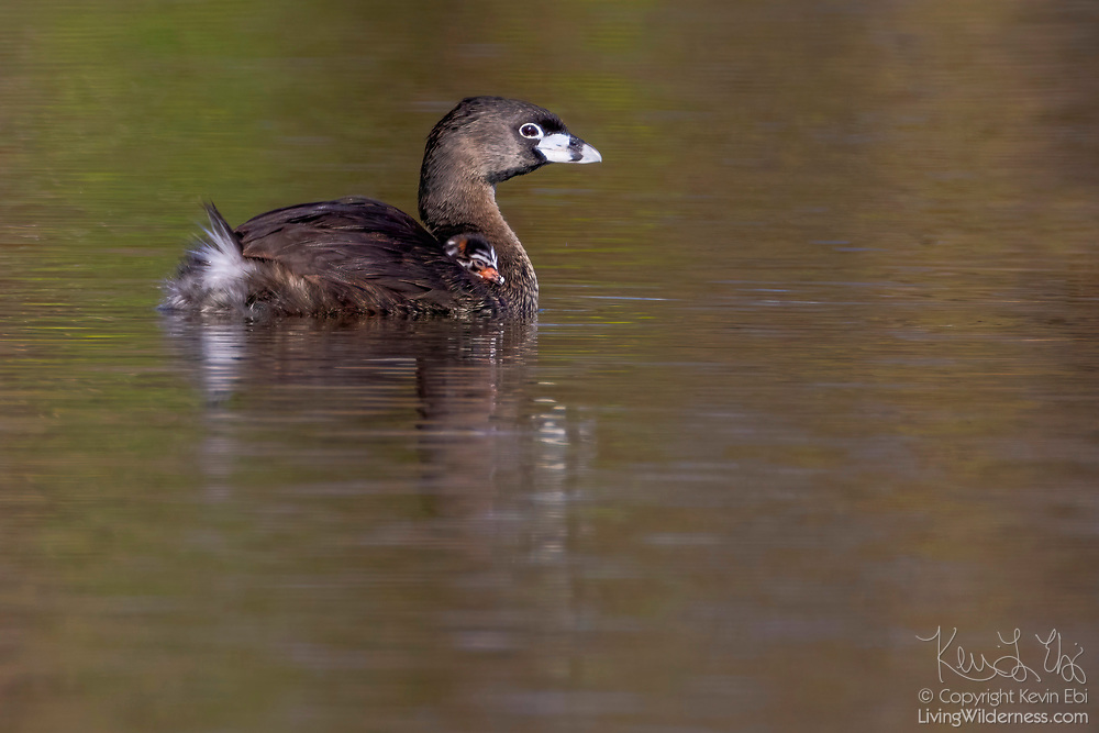 A pied-billed grebe (Podilymbus podiceps) mother swims as one of her chicks rides along on her back on a pond in the Union Bay Natural Area, Seattle, Washington.