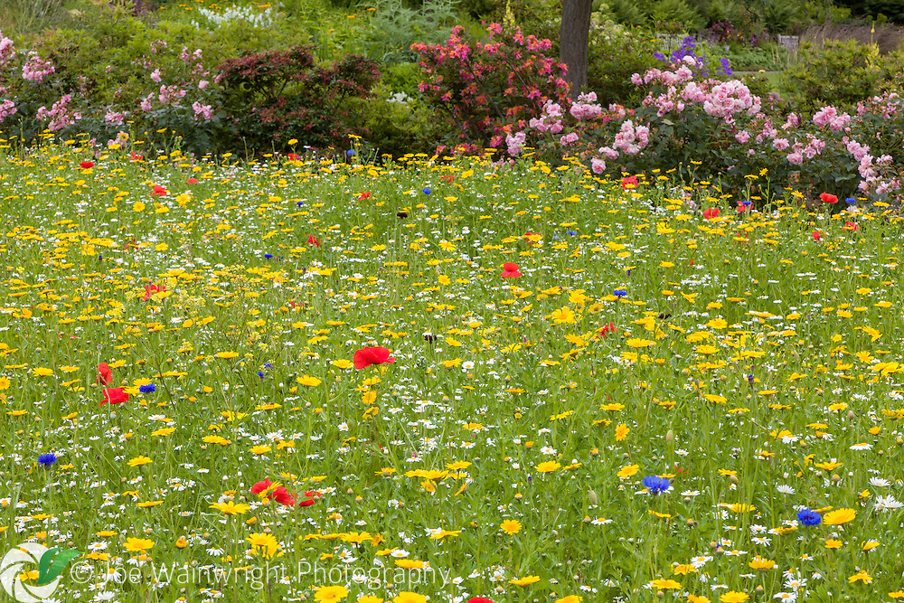 Occupying 64 acres overlooking the River Dee estuary, Ness Botanic Gardens are situated near the English and Welsh Border, in South Wirral, Cheshire.  Here a wildflower meadow, comprised of corn marigolds, oxeye daisies, poppies and cornflowers, creates a swathe of colour - photographed in June.