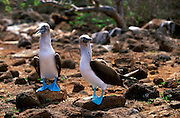 ECUADOR, GALAPAGOS ISLANDS Blue-footed Booby, Sula nebouxii excisa; adult pair on North Seymour Island