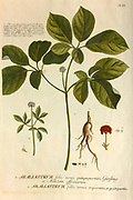 Coloured Copperplate engraving of an Araliastrum (Ginseng)  from hortus nitidissimus by Christoph Jakob Trew (Nuremberg 1750-1792)