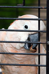 11 July 2010: Cockatoo with an acorn shell in its beak.  Miller Park Zoo, Bloomington Illinois (Photo by Alan Look)