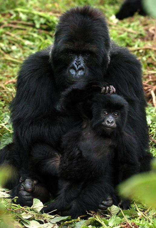 Mountain Gorillas, Volcanoes National Park, Rwanda, October, 2006..Photo by Erin Lubin