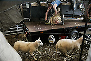 Sheep shearing season on 18th of June 2020, in Stow in the Scottish Borders, Scotland, United Kingdom. Carl and Craig working  flat-out, shearing sheep all day. They both got other farming jobs but during shearing season they take on shearing which takes skills.  Stewart Runciman has got 800 sheep and sheep shearing season is on. He keeps his sheep and lambs in the fields above Stow in the Scottish Borders but takes them inside at Muir House farm to have their wool cut. Wool and fleece was never a good business but with COVID-19 the price on wool has dropped and Stewart now loses up to 80p / sheep  but the shearing has to be done for animal welfare reasons.