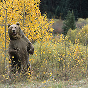 Grizzly bear (Ursus horribilis) adult standing on his hind legs in an aspen grove during the fall in Colorado. Captive Animal