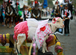 02 March 2014. New Orleans, Louisiana.<br /> Mardi Gras. A goat is pulled by a miniature horse at the Krewe of Thoth parade in Uptown New Orleans.<br /> Photo; Charlie Varley/varleypix.com