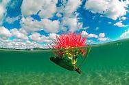 Underwater and split-level view of a pohutukawa flower adrift, Whangateau estuary. Omaha. New Zealand