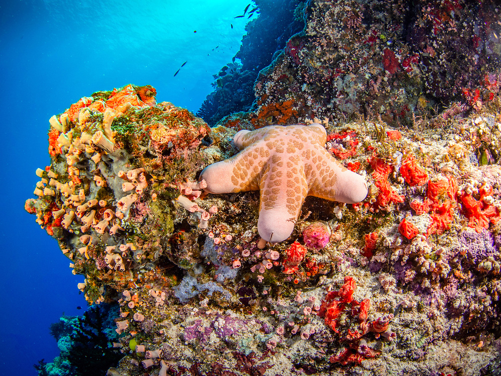 Sea star at Gabriella's Fish Point, Tufi Resort, Papua New Guinea