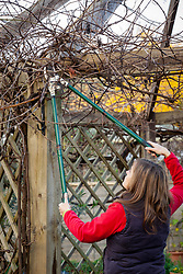 Pruning Vitis vinifera - grapevine - with long handled garden loppers in winter