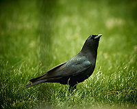 American Black Crow. Image taken with a Nikon D4 camera and 600 mm f/4 VR lens (ISO 640, 600 mm, f/4, 1/800 sec).