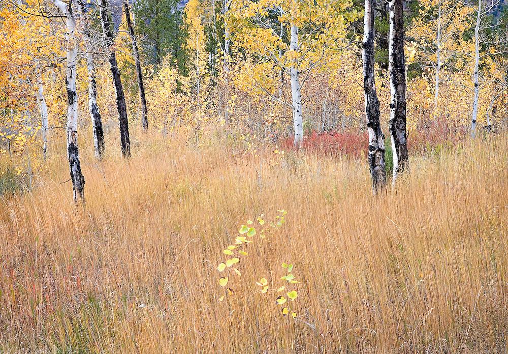Aspen in Autumn Pasture, Idaho