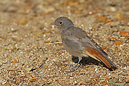 Black Redstart - Phoenicurus ochruros - immature. (L 14cm) has benefited from urban sprawl and indeed often thrives in areas where industrial dereliction prevails. It is a bold bird that perches conspicuously, quivering striking red tail in an obvious manner. Adult males are particularly striking, with slate-grey body plumage darkest on the face and breast. By comparison, female and immature birds are rather drab, with mainly grey-brown body plumage. In a strange way, the Black Redstart's song sometimes match its surroundings and includes curious crackling, static-like phrases. Between 50 and 100 pairs attempt to nest here each year but the species is more numerous as a passage migrant and occasional winter visitor to south coasts.