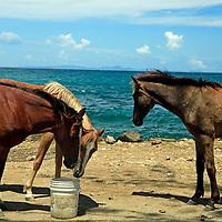 Americas, Caribbean, St. Lucia. Three horses take a break on the beach of St. Lucia.