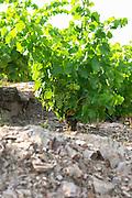 Domaine la Tour Vieille. Collioure. Roussillon. Vines trained in Gobelet pruning. Vine leaves. Terroir soil. France. Europe. Vineyard. Schist. Schist slate soil.