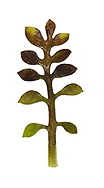 hutchinsia<br /> Hornungia petraea
