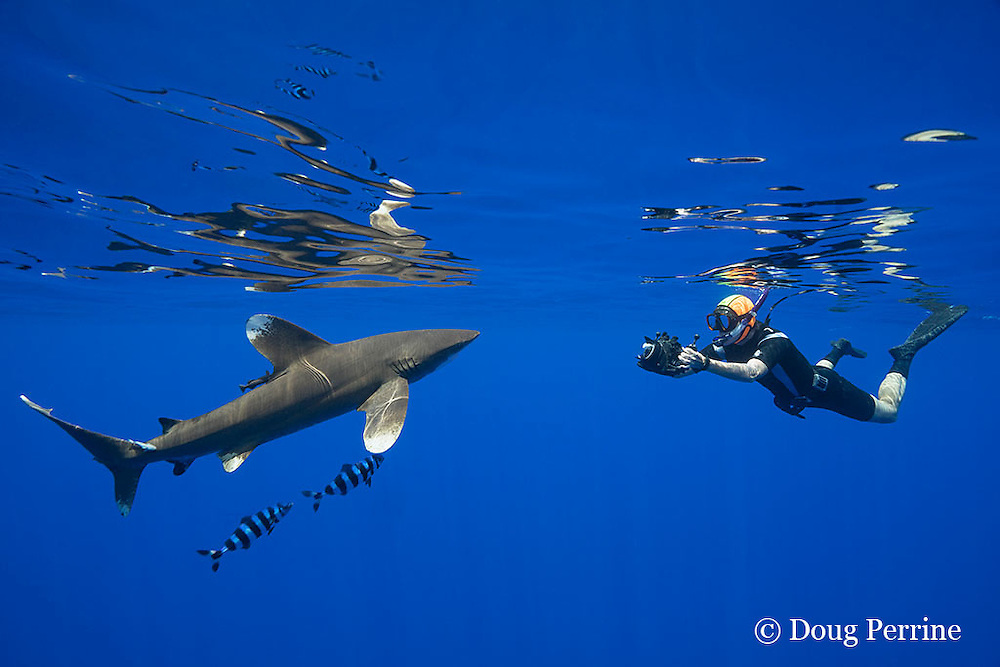 free-diving underwater photographer photographs an oceanic whitetip shark, Carcharhinus longimanus, accompanied by pilot fish, Naucrates ductor, off the Kona Coast of Hawaii Island ( the Big Island ), Hawaiian Islands, U.S.A. ( Central Pacific Ocean ) MR 484