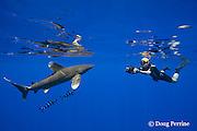 free-diving underwater photographer photographs an oceanic whitetip shark, Carcharhinus longimanus, accompanied by pilot fish, Naucrates ductor, off the Kona Coast of Hawaii Island ( the Big Island ), Hawaiian Islands, U.S.A. ( Central Pacific Ocean ) MR 484