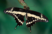 Orange Swallowtail Butterfly, Papilio thoas, USA, King, resting with wings open, yellow and black colours