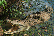 Orinoco Crocodile (Crocodylus intermedius) CAPTIVE female for breeding to release young into the wild.<br /> CITIES 1 ENDANGERED SPECIES and almost extinct in the wild after being hunted for their skins.<br /> Hato Masaguarel working farm and biological station, Guárico Province, VENEZUELA. South America.<br /> Males reach 6m & Females 3.5m. They dig nests both on sandy beaches or in soil. Laying 15-70 eggs. The females stay near the nests and protect the young. Nest are heavily predated upon by Crab eating foxes and Tegue Lizards.<br /> HABITAT: Prefer mouths of primary tributaries of large rivers and seem to much prefer rivers through the Orinoco Savannahs to those through Orinoco forests. Travel large distances during the winter months into areas of lagoons and lakes to avoid fast flowing currents of the main rivers.<br /> DISTIBUTION: Orinoco River of Colombia and Venezuela and Trinidad.<br /> The Llanos are flood plains stretching north of the Orinoco River to the Andean foothills, covering 300,000sq km in Venezuela and another 220,000 sq km in Colombia. This area has poor soil but is rich in its river systems which floods in the wet season leaving shallow marshes which nourish a high concentration of birds and animals.