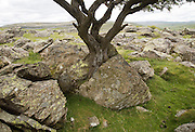 Biotic weathering as growing tree splits rock apart, Austwick, Yorkshire Dales national park, England,UK