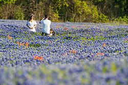 Young family taking family photographs in field of Indian paintbrush (Castilleja indivisa) and bluebonnets (Lupinus texensis), Ennis, Texas USA. Tentative ID.