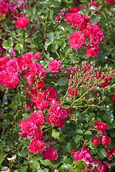 Rosa 'Wiltshire'