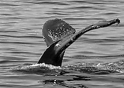 Alaska Whale Tail Stock Photo in Black and White