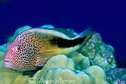 freckled or blackside hawkfish,<br /> Paracirrhites forsteri,<br /> South Kona, Hawaii, USA ( Pacific )