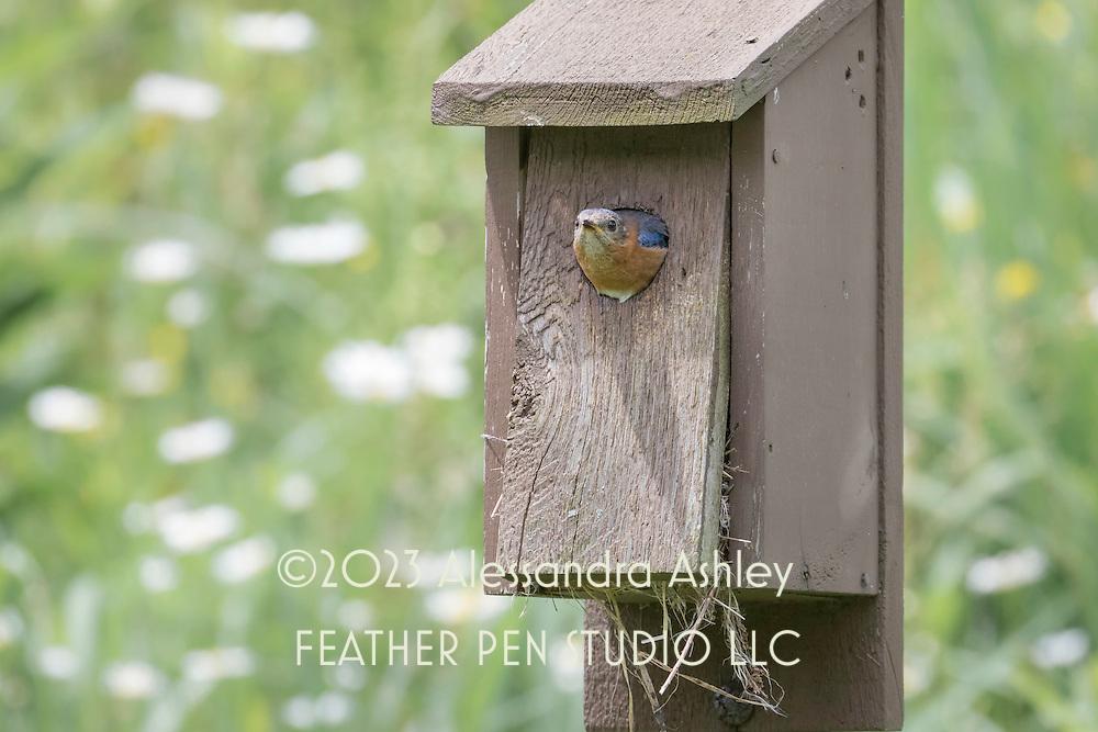 Eastern bluebird (Sialia sialis) peeks out of nesting box at nature preserve, NE Ohio.