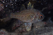 Vincentia conspersa (Southern Cardinalfish)