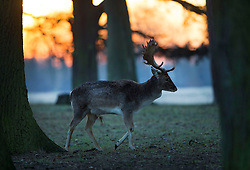 © Licensed to London News Pictures. 19/01/2016. London, UK. A deer looks for food in Bushy Park at first light. Overnight temperatures have dropped to as low as -4 centigrade. Photo credit: Peter Macdiarmid/LNP