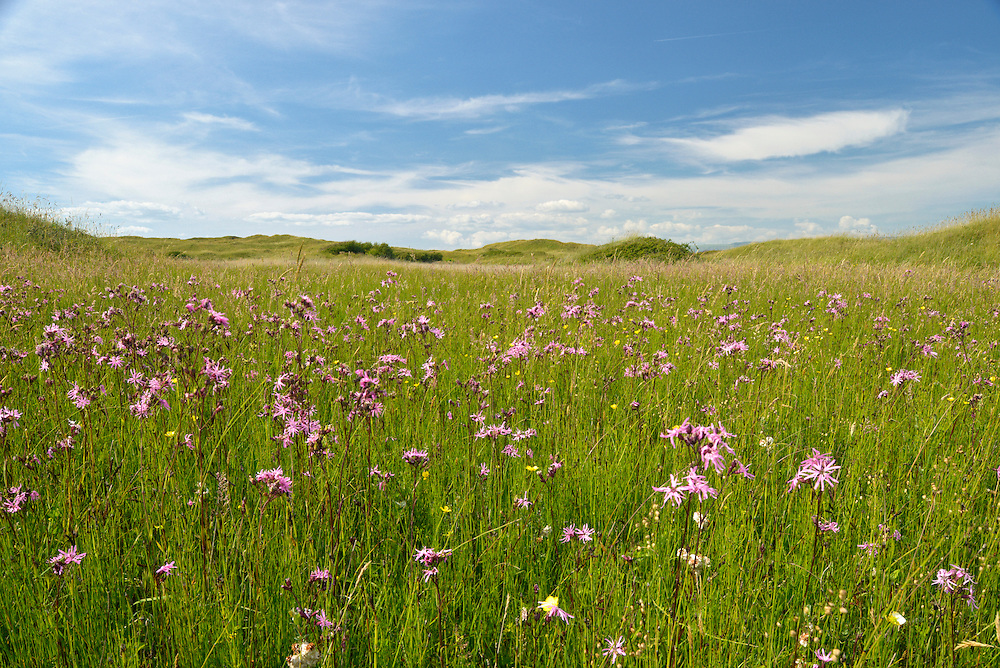 Ragged Robin - Lychnis flos-cuculi in the Dune slacks at Kenfig Nature Reserve, South Wales