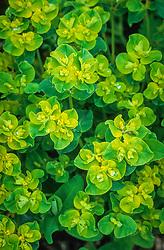 Euphorbia oblongata. Balkan spurge, Eggleaf spurge, Oblong spurge