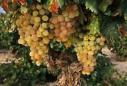 White grapes ready for harvest near Castillo de Davilillo, La Rioja Region, Spain.